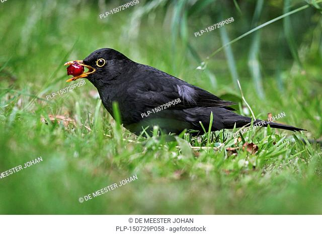 Common blackbird (Turdus merula) male swallowing cherry on the ground in garden