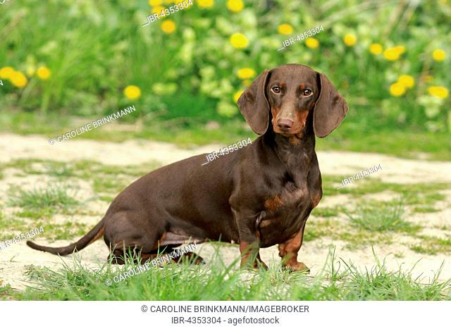 Dachshund, Shorthair, 9 months old, sitting on a path in front of flower meadow, North Rhine-Westphalia, Germany