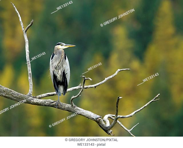 A great blue heron is perched on a branch at the Kootenai Wildlife refuge near Bonners Ferry, Idaho