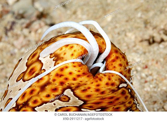 Leopard Sea Cucumber, Bohadschia argus, extruding sticky white Cuvierian tubules from anus. Uepi, Solomon Islands. Solomon Sea, Pacific Ocean