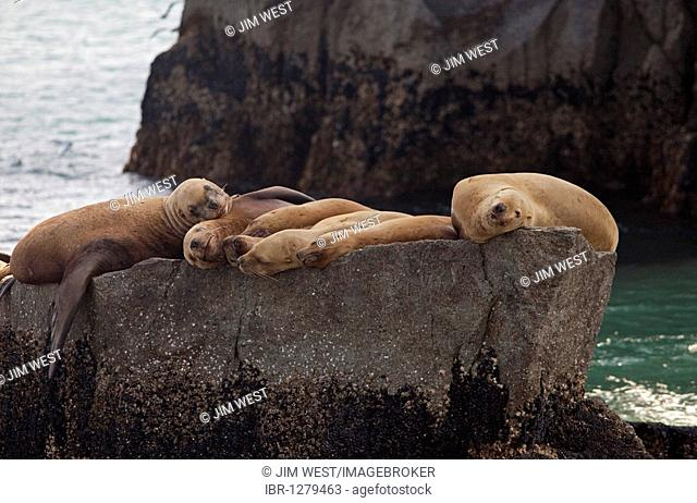 Steller sea lions (Eumetopias jubatus) resting on a rock in Kenai Fjords National Park, Seward, Alaska, USA