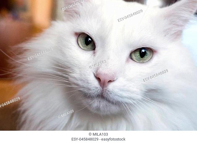 portrait of a young white cat Angora breed