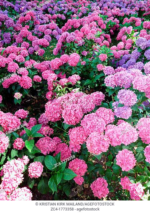 Hortensia bushes in different colours
