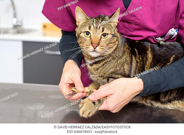 Veterinarian doctor trimming the nails of a cute cat
