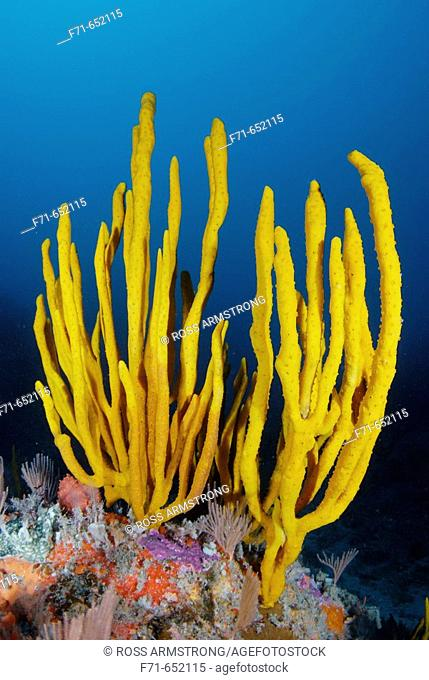 Yellow finger sponge (Callyspongia ramosa). Annes Reef. Poor Knights Islands. New Zealand. South Pacific Ocean
