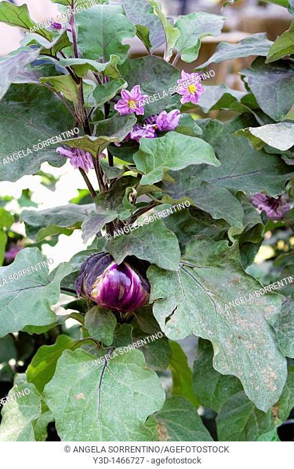 Aubergine plant Solanum melongena with flowers and fruit, Naples, Italy
