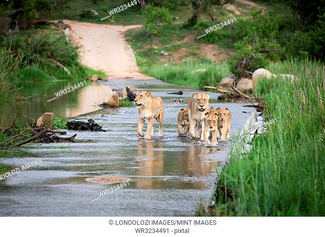 A pride of lions, Panthera leo, walk through the shallow water of a river, walking towards camera, looking away