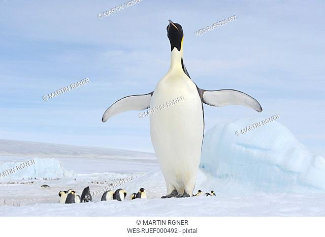 Antarctica, Antarctic Peninsula, Emperor penguins with chicks on snow hill island