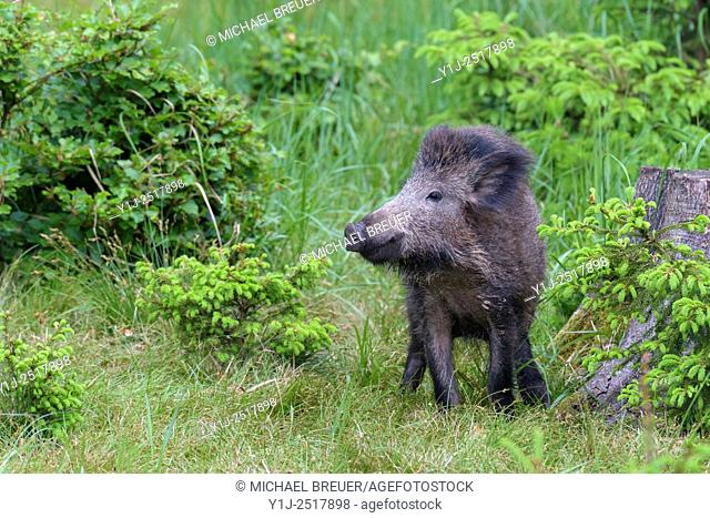 Wild boar (Sus scrofa), Spessart, Bavaria, Germany, Europe