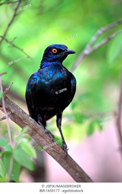 Red-shouldered Glossy-starling (Lamprotornis nitens), adult in tree, Kruger National Park, South Africa, Africal