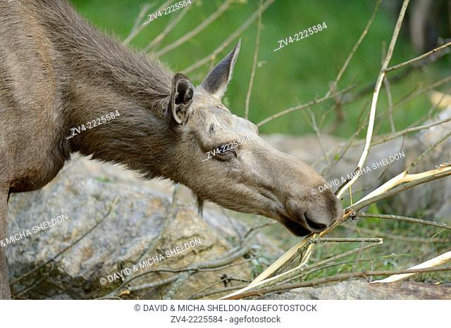Portrait of a Eurasian elk (Alces alces) in a forest in early summer