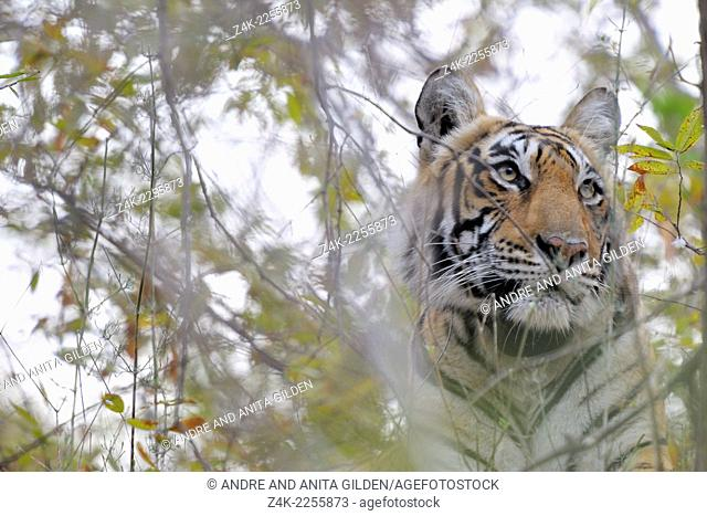 Bengal Tiger (Panthera tigris tigris) peeps camouflaged through bushes, Ranthambhore national park, India
