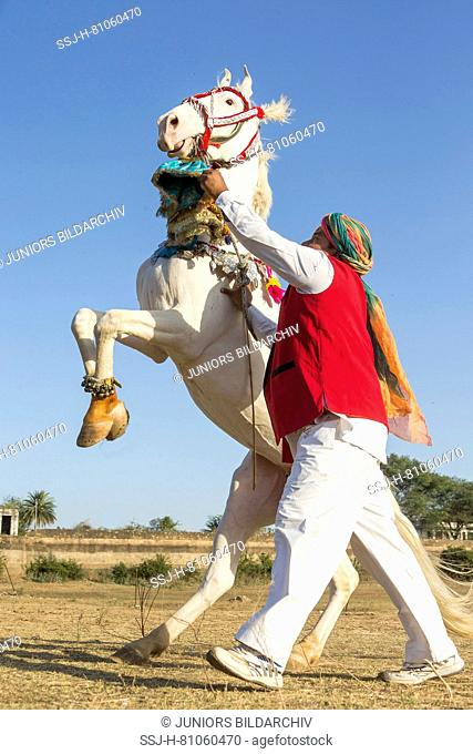 Marwari Horse. Dominant white mare rearing during a traditional horse dance. Rajasthan, India