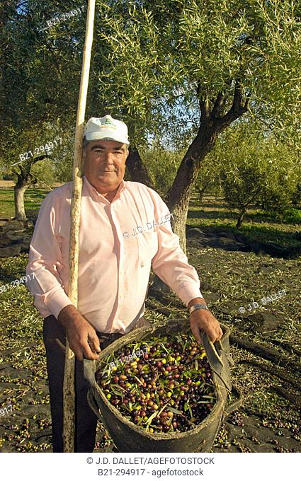 Antonio Osuna with 'arbequina' olives at Hacienda Fuencubierta. Córdoba province, Spain