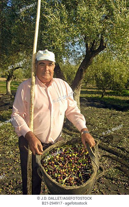 Antonio Osuna with 'arbequina' olives at Hacienda Fuencubierta. Córdoba province, Spain