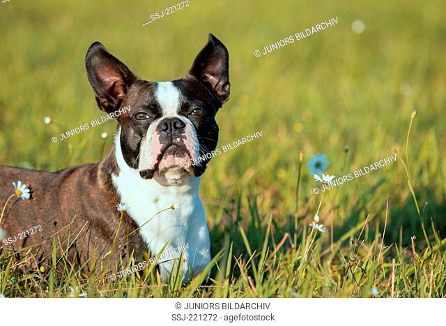 Boston Terrier. Adult dog lying on a meadow with flowering Daisies. Germany