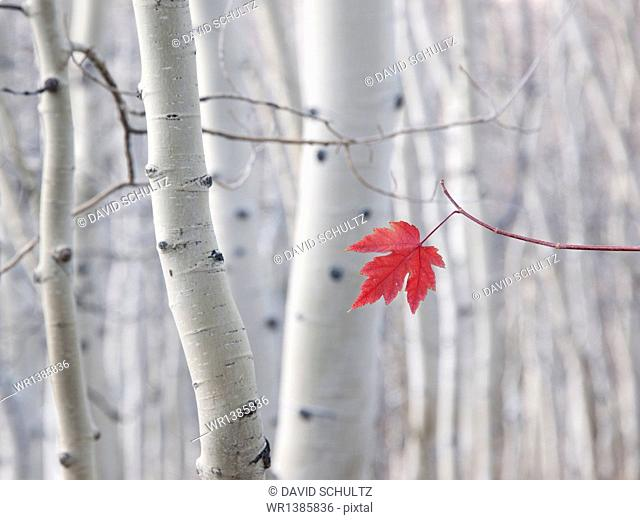 A single red maple leaf in autumn, against a background of aspen tree trunks with cream and white bark. Wasatch national forest