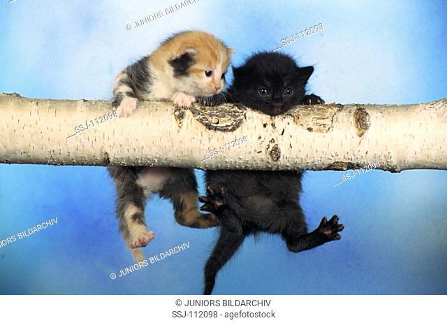two kitten - hanging on branch