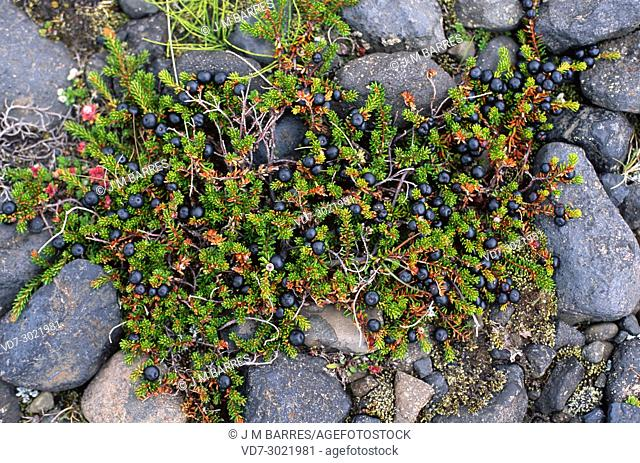 Black crowberry (Empetrum nigrum) is a small shrub native to North Europe and south Europe mountains (Alps, Pyrenees). This photo was taken in Iceland