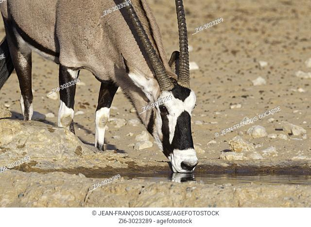 Gemsbok (Oryx gazella) drinking at a waterhole, Kgalagadi Transfrontier Park, Northern Cape, South Africa, Africa