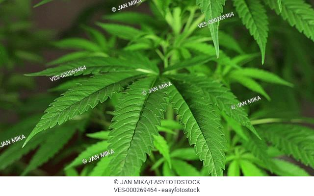 Cannabis female plant growing indoors, Indica dominant hybrid in early flowering phase