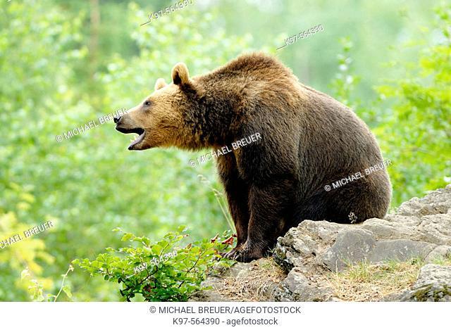 Brown Bear (Ursus arctos), Germany