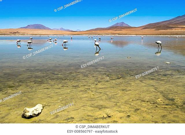 Flamingos on lake in Andes, Bolivia