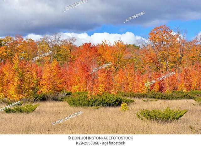 Maple trees in autumn lining a pasture with juniper bushes, Manitoulin Island, Ontario, Canada
