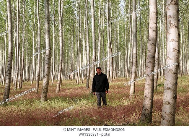 A man in a forest of poplar trees, Oregon, USA
