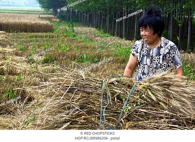 Mature woman standing with a bundle of wheat in a field, Zhigou, Shandong Province, China