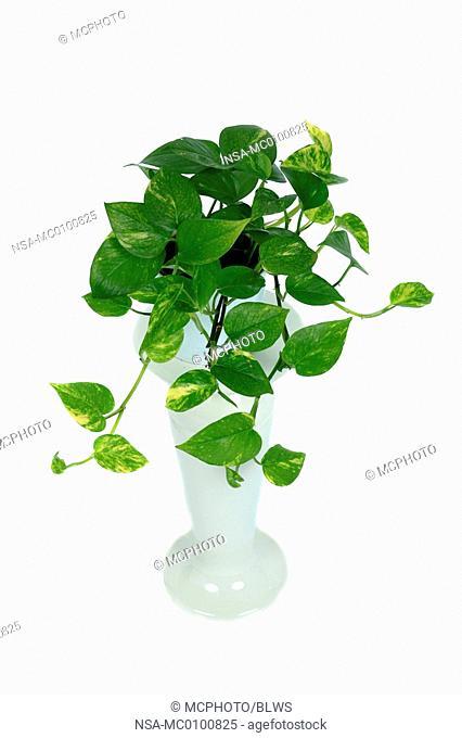 Epipremnum pinnatum Aureum, Epipremnum aureum, Rhaphidophora aurea, Scindapsus aureus, centipede tongavine