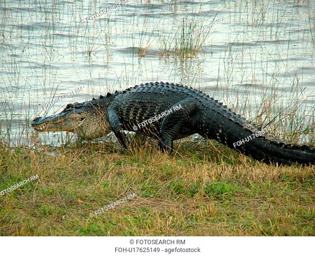 Everglades National Park, FL, Florida, Flamingo, West Lake, American Alligator