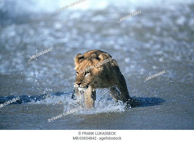 Lion, Panthera Leo, young,  Beach, water,   Animal, wild animal, carnivore, predatory cat, mammal, wildlife, Wildlife, big cat, lion-young, sea, coast, movement