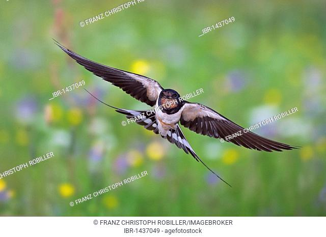Barn swallow (Hirundo rustica) in flight with prey, Thuringia, Germany, Europe
