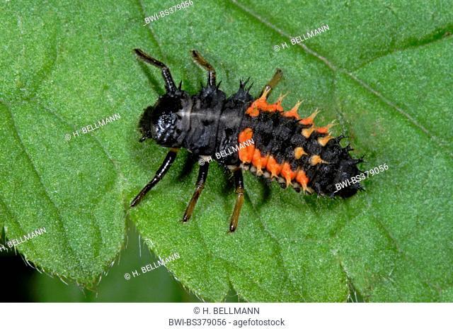 multicoloured Asian beetle (Harmonia axyridis), beetle larva, Germany