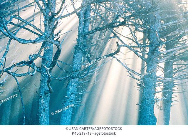 Spruce tree skeletons in fog, Rialto Beach, Olympic National Park,Washington, USA