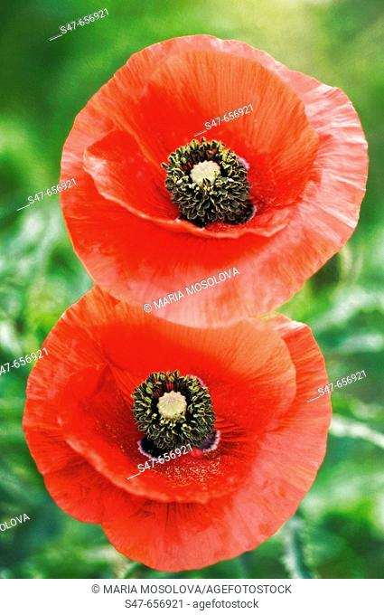 Two Red Poppy Flowers. Papaver rhoeas. May 2007, Maryland, USA