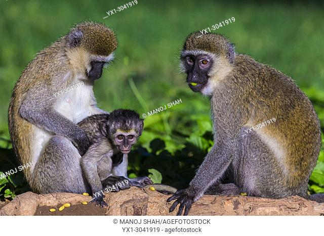 Vervet baby with mother and adult sitting grooming. Great Rift Valley, Kenya
