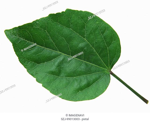 Leaf of Hibiscus