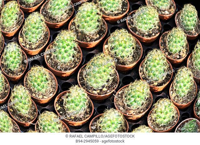Cactus for sale. Fam. cactaceae. La Rambla. Barcelona, Catalonia, Spain