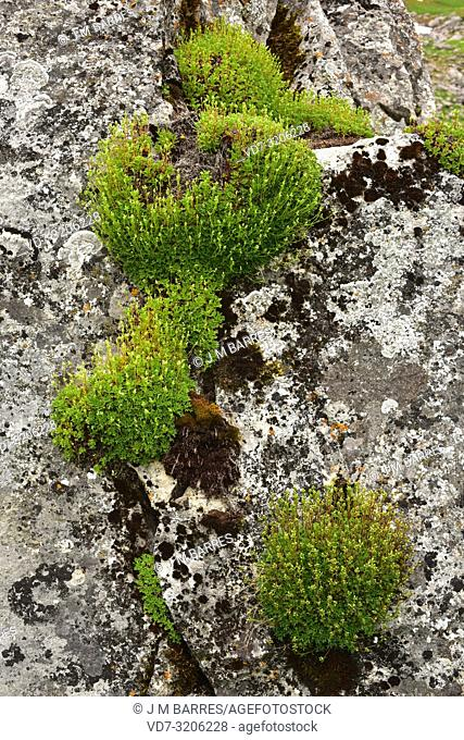 Saxifraga babiana is a perennial herb endemic to Cantabrian Mountains (Asturias and Leon). This photo was taken in Babia, Leon province, Castilla-Leon, Spain