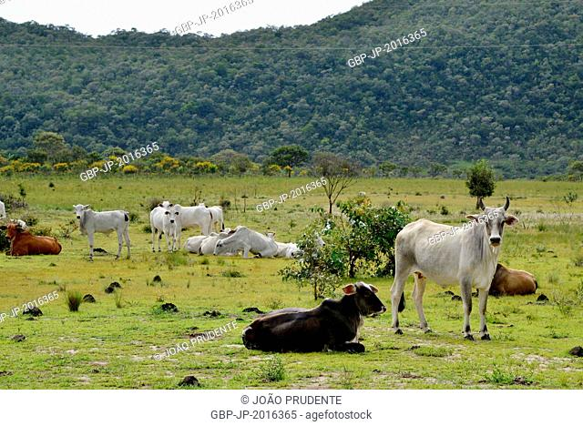Livestock of Nelore and mixed race in the countryside, Cavalcante, Goiás, Brazil. 03.2015