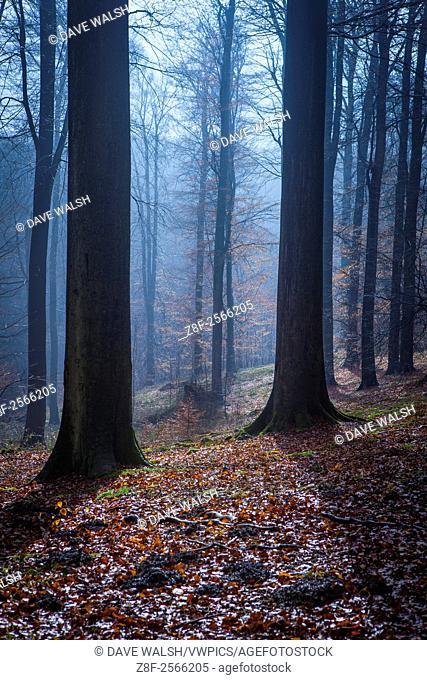 """The Sonian Forest, Foret de Soignes, or Zoniënwoud, an 11,000 hectare woodland to the southeast of Brussels, providing a """"""""green lung"""""""" for the polluted"""
