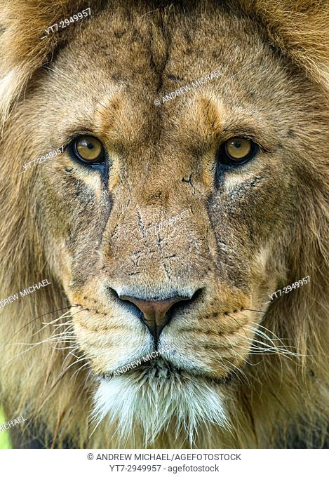 Male African Lion up close