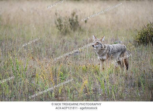 Canis latrans - Coyote, Alberta, Canada