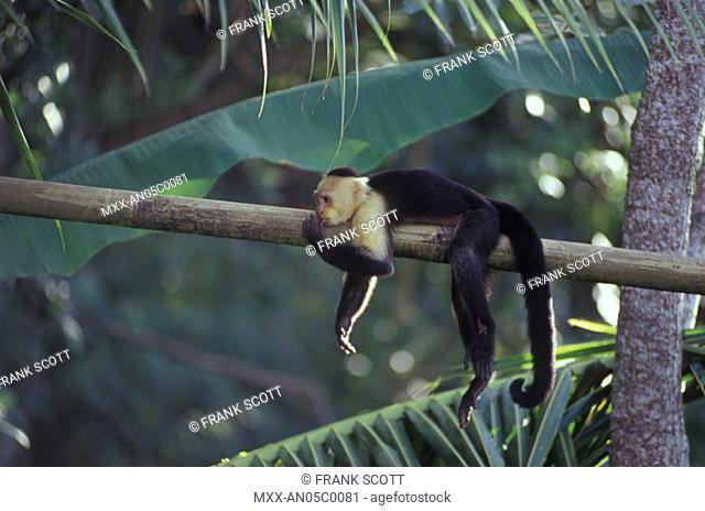 White Faced Capuchin Monkey, Carate, Osa Peninsula, Coast Rica