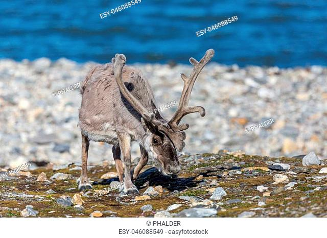 natural reindeer (rangifer tarandus platyrhynchus) grazing