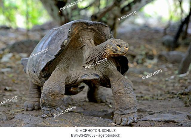 Galapagos tortoise, Galapagos giant tortoise (chathamensis) (Chelonodis nigra chathamensis, Geochelone elephantopus chathamensis, Geochelone nigra chathamensis
