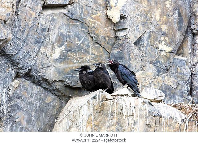Common raven, Corvus corax, young in cliffside nest