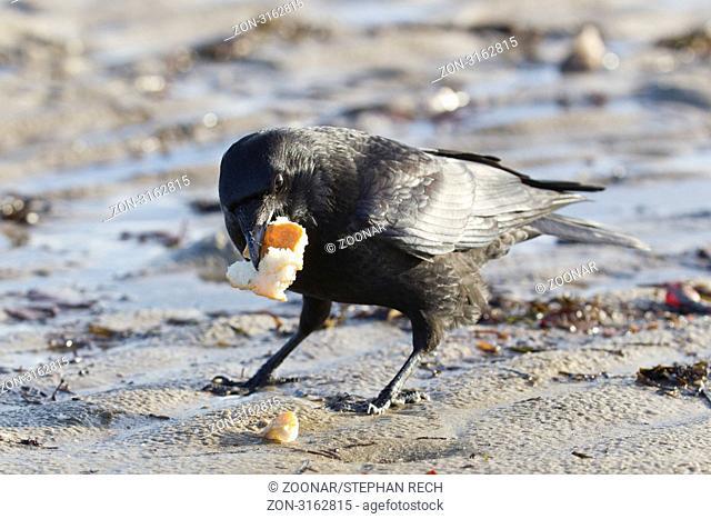 Kolkrabe Corvus corax - Common Raven Corvus corax at the beach